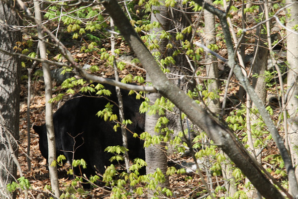 Bear passing through... May 2011